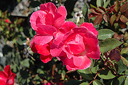 Pink Knock Out® Rose (Rosa 'Radcon') at Rutgers Landscape & Nursery