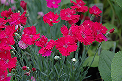 Neon Star Pinks (Dianthus 'Neon Star') at Rutgers Landscape & Nursery