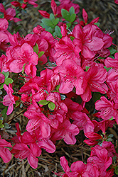 Mother's Day Azalea (Rhododendron 'Mother's Day') at Rutgers Landscape & Nursery