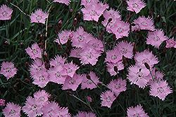 Bath's Pink Pinks (Dianthus 'Bath's Pink') at Rutgers Landscape & Nursery