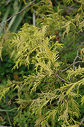 Weeping Golden Threadleaf Falsecypress (Chamaecyparis pisifera 'Filifera Aurea Pendula') at Rutgers Landscape & Nursery