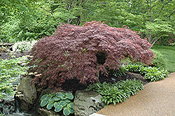 Red Select Japanese Maple (Acer palmatum 'Red Select') at Rutgers Landscape & Nursery