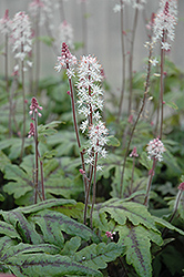 Candy Striper Foamflower (Tiarella 'Candy Striper') at Rutgers Landscape & Nursery