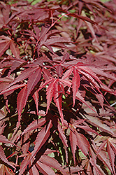 Red Dawn Full Moon Maple (Acer shirasawanum 'Red Dawn') at Rutgers Landscape & Nursery