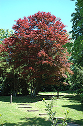 Purple-Leaf Japanese Maple (Acer palmatum 'Atropurpureum') at Rutgers Landscape & Nursery