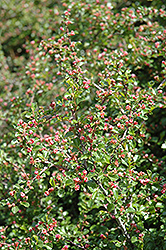 Cranberry Cotoneaster (Cotoneaster apiculatus) at Rutgers Landscape & Nursery