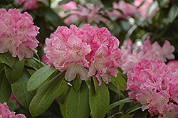 Holden Rhododendron (Rhododendron 'Holden') at Rutgers Landscape & Nursery