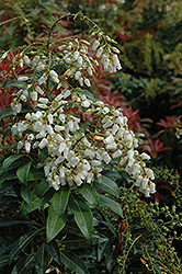 Mountain Fire Andromeda (Pieris japonica 'Mountain Fire') at Rutgers Landscape & Nursery