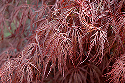 Crimson Queen Japanese Maple (Acer palmatum 'Crimson Queen') at Rutgers Landscape & Nursery