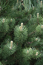 Oregon Green Austrian Pine (Pinus nigra 'Oregon Green') at Rutgers Landscape & Nursery