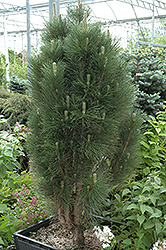 Green Tower Austrian Pine (Pinus nigra 'Green Tower') at Rutgers Landscape & Nursery