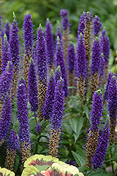 Royal Candles Speedwell (Veronica spicata 'Royal Candles') at Rutgers Landscape & Nursery