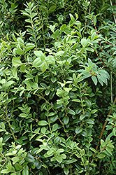 Graham Blandy Boxwood (Buxus sempervirens 'Graham Blandy') at Rutgers Landscape & Nursery