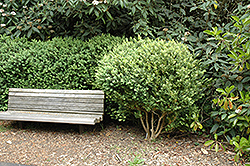 American Boxwood (Buxus sempervirens) at Rutgers Landscape & Nursery