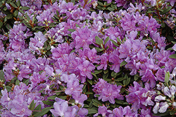 Purple Gem Rhododendron (Rhododendron 'Purple Gem') at Rutgers Landscape & Nursery
