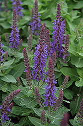 Sensation Deep Blue Sage (Salvia nemorosa 'Sensation Deep Blue') at Rutgers Landscape & Nursery