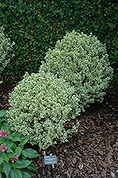 Variegated Boxwood (Buxus sempervirens 'Variegata') at Rutgers Landscape & Nursery