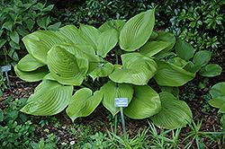 Sum and Substance Hosta (Hosta 'Sum and Substance') at Rutgers Landscape & Nursery