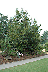 Queen Elizabeth Hedge Maple (Acer campestre 'Evelyn') at Rutgers Landscape & Nursery