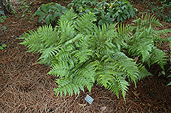 Autumn Fern (Dryopteris erythrosora) at Rutgers Landscape & Nursery