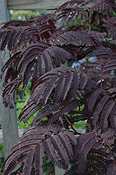 Summer Chocolate Mimosa (Albizia julibrissin 'Summer Chocolate') at Rutgers Landscape & Nursery