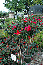 Knock Out® Rose Tree (Rosa 'Radrazz') at Rutgers Landscape & Nursery