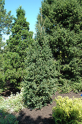 Columnar Norway Spruce (Picea abies 'Cupressina') at Rutgers Landscape & Nursery