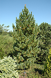 Blue Swiss Stone Pine (Pinus cembra 'Glauca') at Rutgers Landscape & Nursery