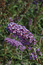 Nanho Blue Butterfly Bush (Buddleia davidii 'Nanho Blue') at Rutgers Landscape & Nursery