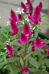 Intenz Celosia (Celosia 'Intenz') at Rutgers Landscape & Nursery