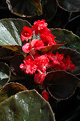 Doublet Red Begonia (Begonia 'Doublet Red') at Rutgers Landscape & Nursery