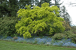 Aureum Japanese Maple (Acer palmatum 'Aureum') at Rutgers Landscape & Nursery