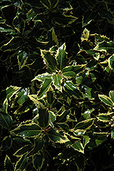 Gold Coast English Holly (Ilex aquifolium 'Monvila') at Rutgers Landscape & Nursery