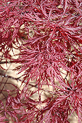 Red Dragon Japanese Maple (Acer palmatum 'Red Dragon') at Rutgers Landscape & Nursery