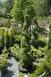 Common Boxwood (spiral) (Buxus sempervirens '(spiral)') at Rutgers Landscape & Nursery