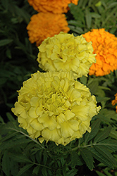 Taishan Yellow Marigold (Tagetes erecta 'Taishan Yellow') at Rutgers Landscape & Nursery