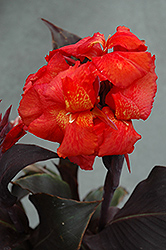 Tropical Bronze Scarlet Canna (Canna 'Tropical Bronze Scarlet') at Rutgers Landscape & Nursery