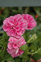 Double Wave Pink Petunia (Petunia 'Double Wave Pink') at Rutgers Landscape & Nursery