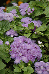 Hawaii Blue Flossflower (Ageratum 'Hawaii Blue') at Rutgers Landscape & Nursery