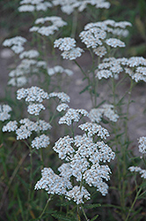 Common Yarrow (Achillea millefolium) at Rutgers Landscape & Nursery