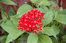 Graffiti® Red Lace Star Flower (Pentas lanceolata 'Graffiti Red Lace') at Rutgers Landscape & Nursery