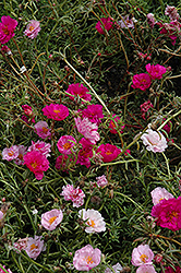 Happy Trails Fuchsia Portulaca (Portulaca grandiflora 'Happy Trails Fuchsia') at Rutgers Landscape & Nursery