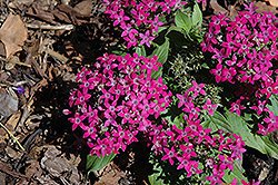 Graffiti® Violet Star Flower (Pentas lanceolata 'Graffiti Violet') at Rutgers Landscape & Nursery