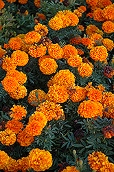 Taishan Orange Marigold (Tagetes erecta 'Taishan Orange') at Rutgers Landscape & Nursery