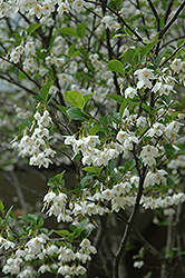 Japanese Snowbell (Styrax japonicus) at Rutgers Landscape & Nursery