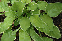 Moonlight Hosta (Hosta 'Moonlight') at Rutgers Landscape & Nursery