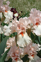 Rhapsody In Peach Iris (Iris 'Rhapsody In Peach') at Rutgers Landscape & Nursery