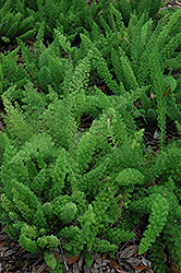 Myers Foxtail Fern (Asparagus densiflorus 'Myers') at Rutgers Landscape & Nursery