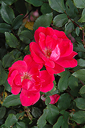 Red Knock Out® Rose (Rosa 'Red Knock Out') at Rutgers Landscape & Nursery