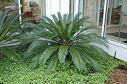 Japanese Sago Palm (Cycas revoluta) at Rutgers Landscape & Nursery
